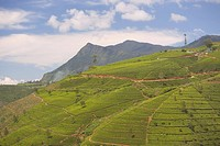 Tea estates in the Tea Hills, near Nuwara Eliya, Hill Country, Sri Lanka, Asia