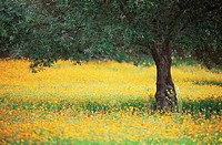 Olive tree in field of wild flowers, near Fez, Morocco, North Africa, Africa