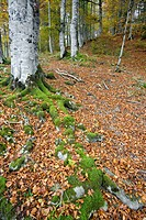 Beeches forest in autumn, Selva de Irati, Navarra, Pyrenees, Spain