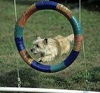 Border Terrier leaping through a tire