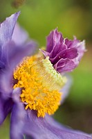 Close_up of a Himalayan poppy growing in Anchorage. Summer in Southcentral Alaska.