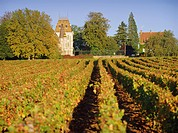 Vineyards, Aloxe Corton, Cote d´Or, Burgundy, France, Europe