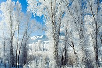 Cottonwood trees in forest coated in Rime ice near Colorado River Colorado Winter USA