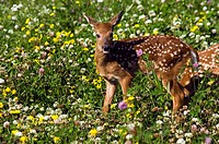 White_tailed deer fawn in meadow of wildflowers Minnesota USA Summer