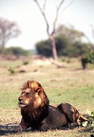Lejon Hanne I Chobe Nationalpark Botswana, Lion Sitting In Forest
