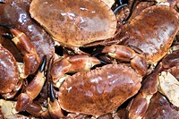 Close_up of fresh Dungeness crabs