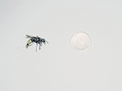 Gigantisk geting och femkrona, närbild. Close_Up Of Giant Wasp And A Five Krona Swedish Coin.