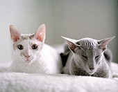 Porträtt av raskatter, vit Cornish Rex och grå oriental. Close_Up Of Cats, Cornish Rex And Grey Oriental.