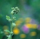 Stockrosknopp I Trädgårdsrabatt, Close_Up Of Flower Buds