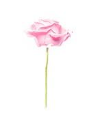 Rosa Ros Mot Vit Bakgrund, Pink Rose, Close_Up