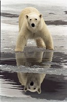 Rovdjur, Isbjörn, Close_Up Of Polar Bear On Ice