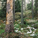 Dig. Original FOTO: Claes Grundsten COPYRIGHT BILDHUSET Trees In Forest