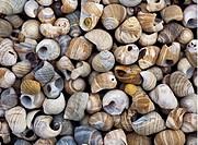 Strandsnäckor, Skal, Shells, Full Frame