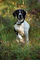 Fågelhund På Jakt , Dog With Collar Belt On Bushes