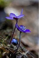 Blåsippa, Flower, Close_Up
