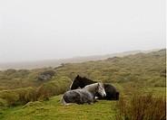Hästar I Dimma På Irlands Västkust, Ireland, Horses In Mist In Fields