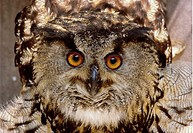 Berguv I Fångenskap, Close_Up Of Owl