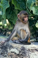 Rhesusapa I Nepal, Monkey Sitting On Rock, Close_Up
