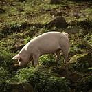 Svin bökar i marken utomus Pig grazing in field