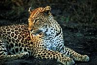 Leopard Panthera pardus, Mala Mala Game Reserve, Sabi Sand Park, South Africa, Africa
