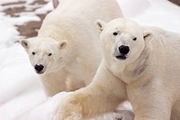 Close_up of two polar bears