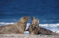Gray Seal, Halichoerus grypus, Helgoland, Schleswig_Holstein, Germany