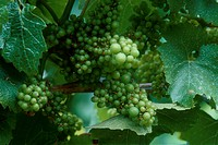 Muscat Grapes On Vine