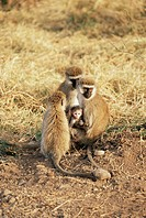Vervet monkey with infant Ceropithecus aethiops, Ngorongoro Crater, Tanzania, East Africa, Africa