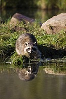 Raccoon racoon Procyon lotor at waters edge with reflection, in captivity, Minnesota Wildlife Connection, Minnesota, United States of America, North A...