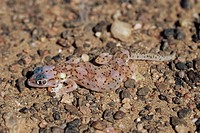 Web_footed gecko Palmotogecko rangei, Skeleton Coast, Namibia, Africa