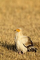 Egyptian vulture Neophron percnopterus, Masai Mara National Reserve, Kenya, East Africa, Africa