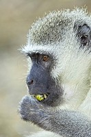 Vervet monkey Chlorocebus aethiops, Kruger National Park, South Africa, Africa