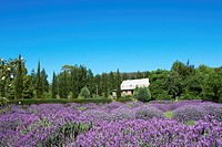 Lavender Farm in Daylesford, Australia