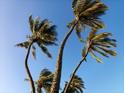 Palm trees against blue sky blowing in the wind in Maui, Hawaii