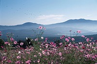 A Cosmos Field And A Mountain Range