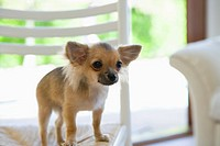 Chihuahua on chair in living room (thumbnail)
