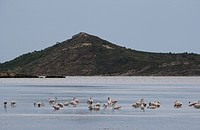Flamingos, Etang, Peyriac_de_Mer, Aude, Languedoc_Roussillon, France, Europe