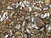 10851938, Sweden, gravel, beach, stones, detail, c