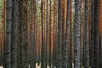 Close_up of tree trunk in forest skog i Värmland