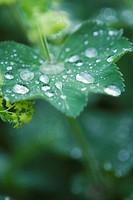 Close_up of water droplets on leaf En daggkåpa med daggdroppar på.