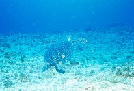 An Underwater Sea Turtle