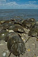 10855593, Horseshoe crab, Limulus polyphemus, Dela