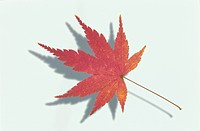 The Autumn Leaves Of A Maple