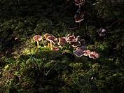 Höstkantareller I Naturen., Chanterelles In Field