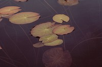 Lotus Leaves In Autumn
