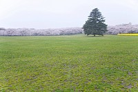 Green tree in cherry blossoms field, copy space, Japan (thumbnail)