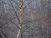 The White Birch Wood Of Winter