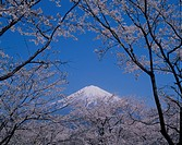 Mount Fuji And Cherry Trees