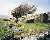 Windblown tree on rocky hillside, Bodmin Moor, Cornwall, UK