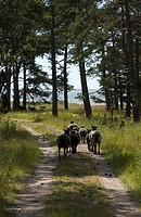 Rear View Of Group Of Sheep In The Forest